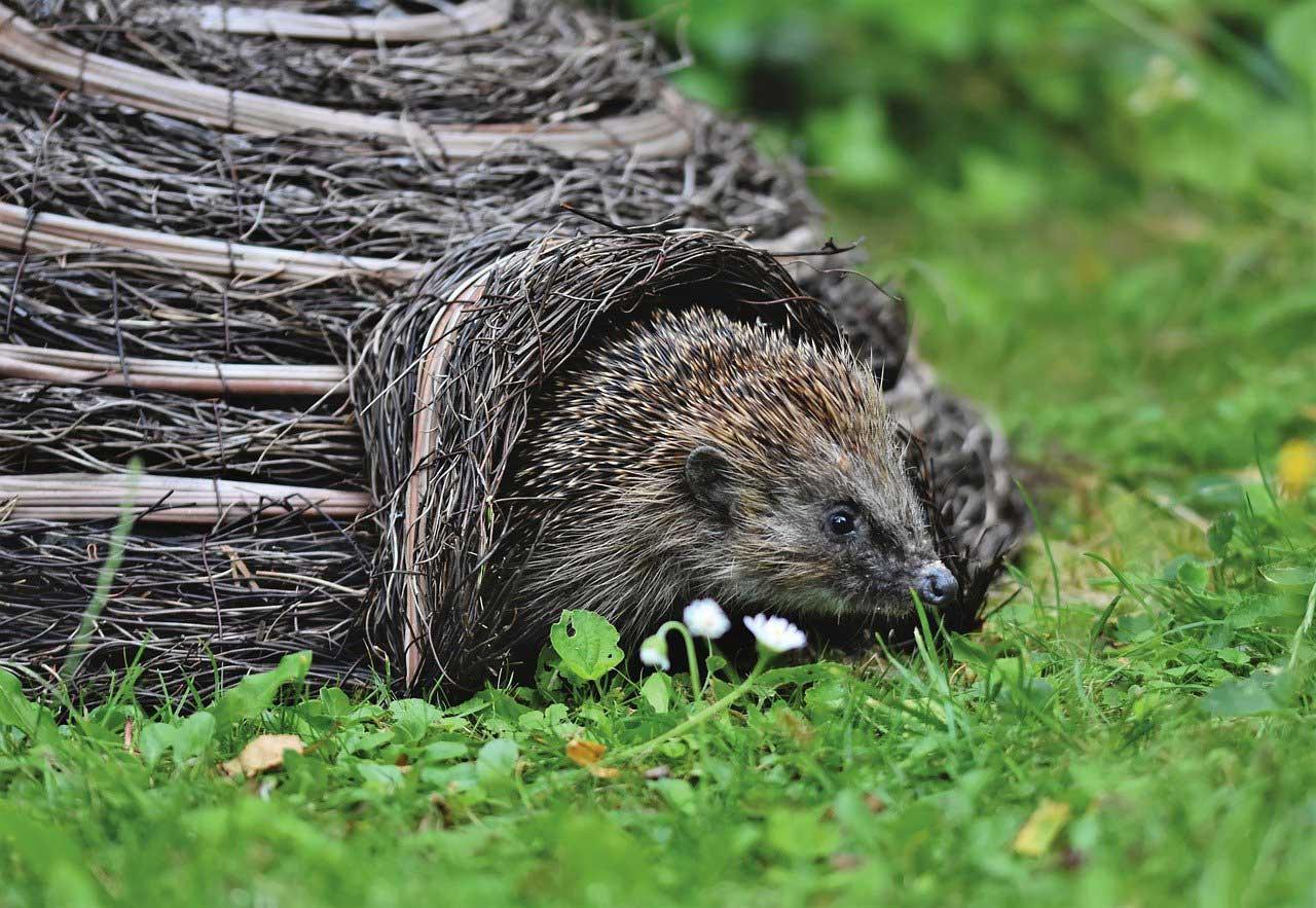 hedgehog-as-a-pet-bite