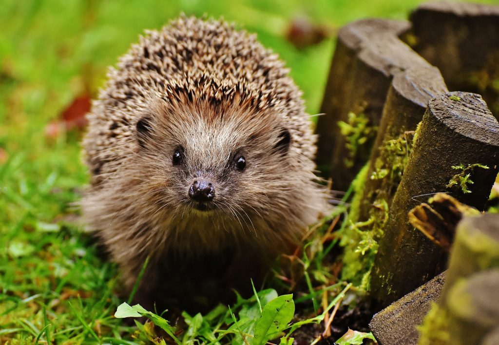 hedgehog-as-pet-1024x708-9410711