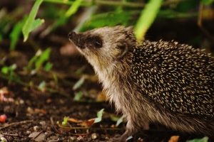 hedgehog-bedding-1471510