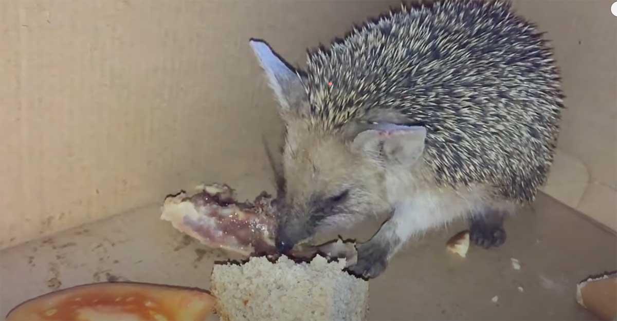hedgehog-food-guide