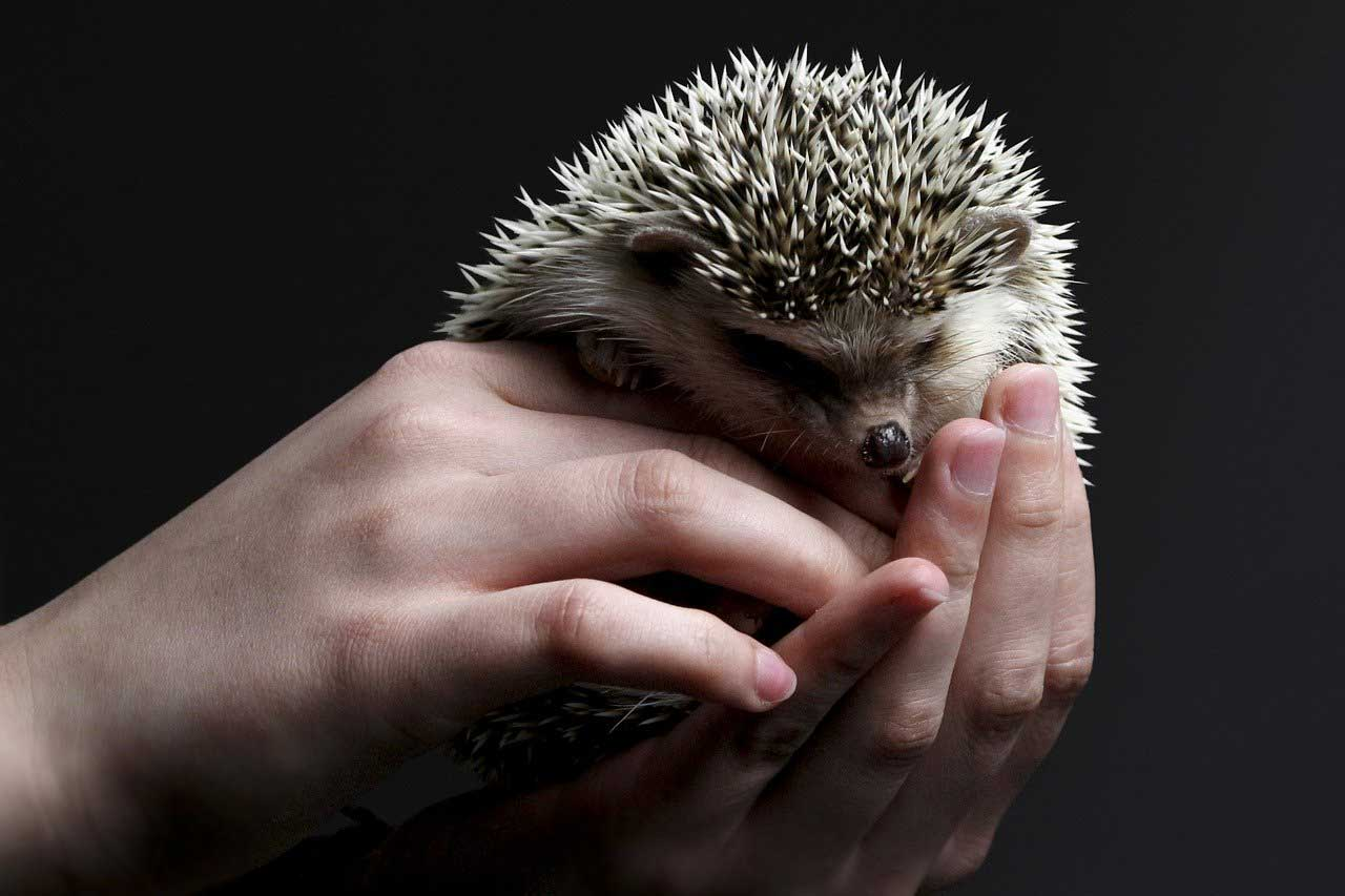 hedgehog-holding