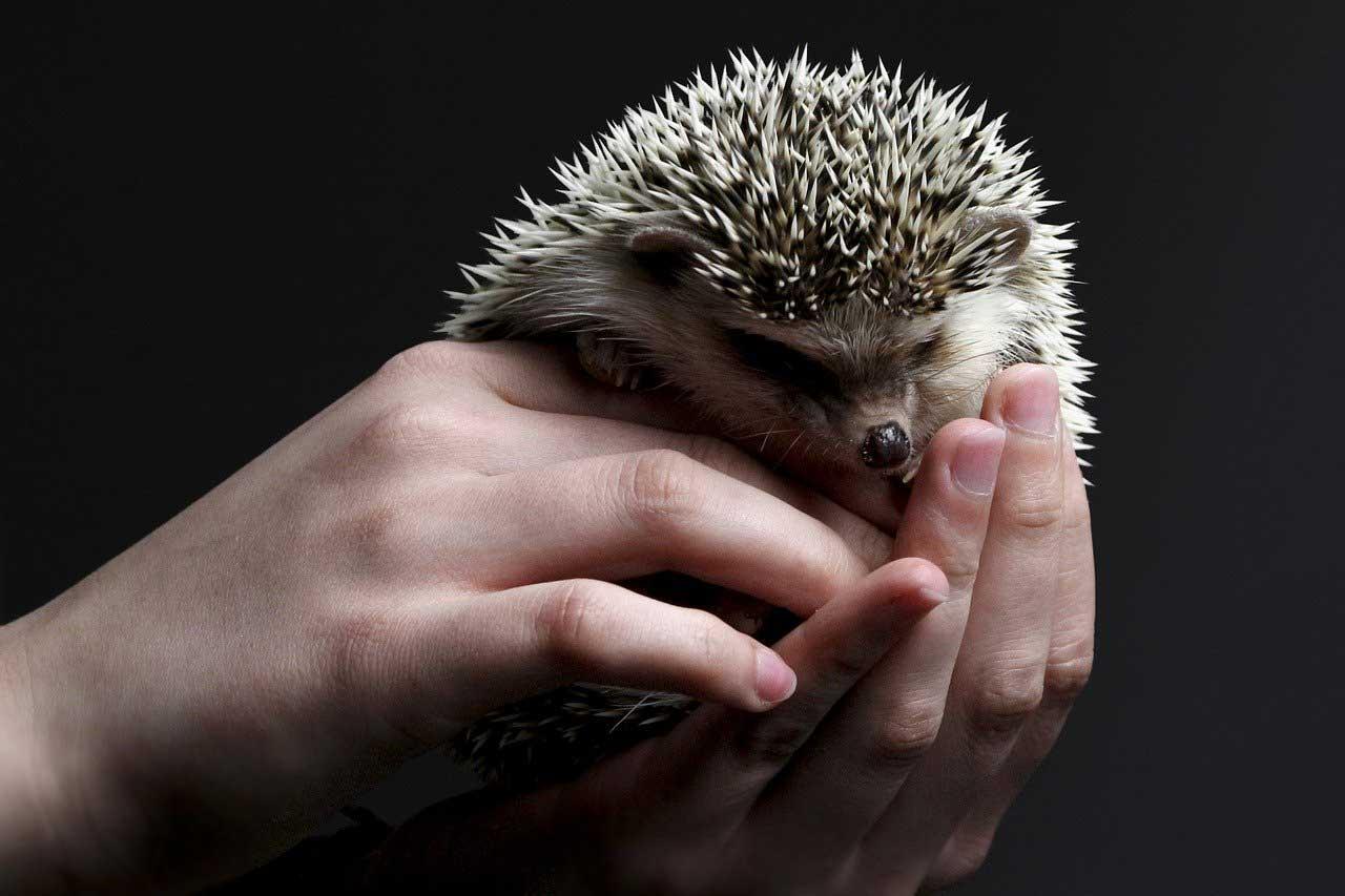 hedgehog-holding