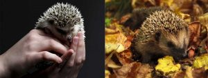 wil-hedgehog-vs-tame-hedgehog