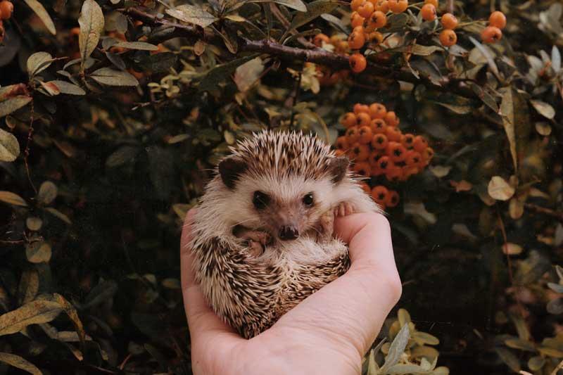 hedgehog-as-pet