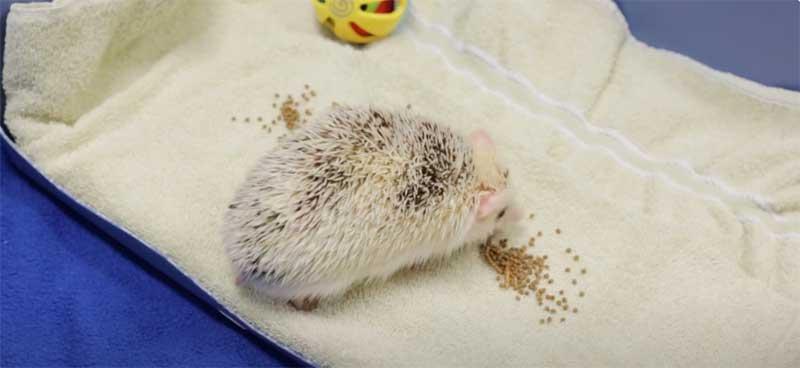 hedgehog-cage-care