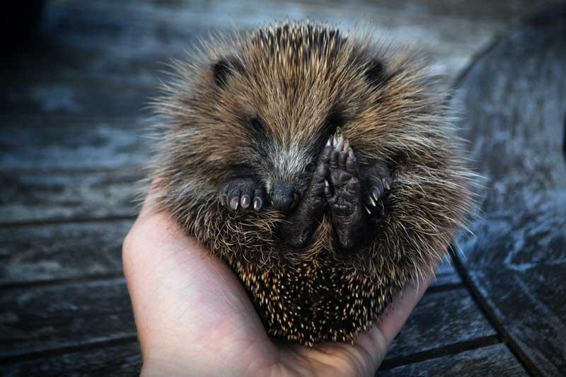 holding-a-hedgehog