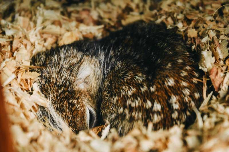 sleeping-hedghog